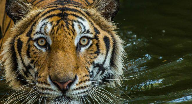 tigeri